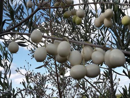 Λευκή ελιά το σπάνιο είδος ελιάς με καταγωγή από την αρχαιότητα