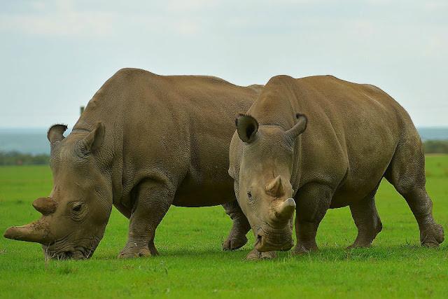 najin-fatu-rinocerontes-blancos-quedan