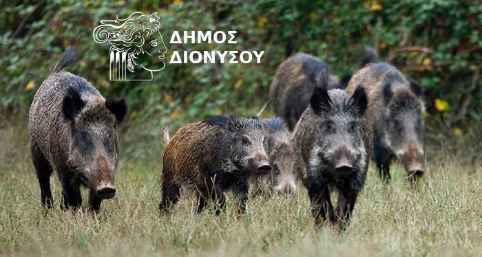 Ο Δήμος Διονύσου είναι κάθετα αντίθετος στη θανάτωση των αγριόχοιρων.