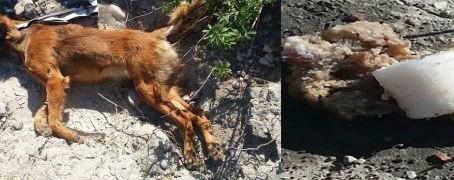 Δύο νεκρά σκυλιά στην Απολλακιά Ρόδου | Δεκάδες φόλες από υδροκυάνιο