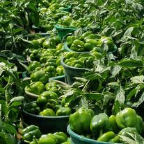 PGI Vegetable Farm
