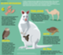 beugism-wallaby-infographic.png