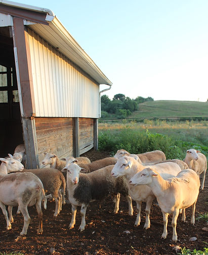 sheep5_edited.jpg