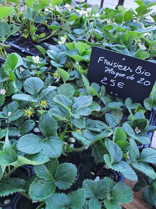 Plants fraisiers BIO / maras des bois / ost ara / cigaline / cijosee