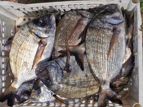 SAR  pêche locale au 100gr
