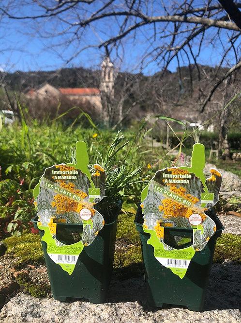 Plant immortelle bio