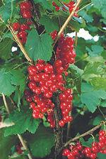 Gooseberry.72.jpg