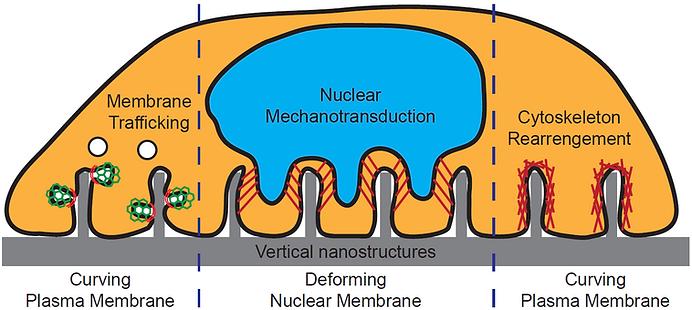 cell membrane deformation illustration.p