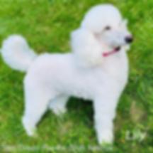 San Diego Poodle Club Rescue - Lily 2020