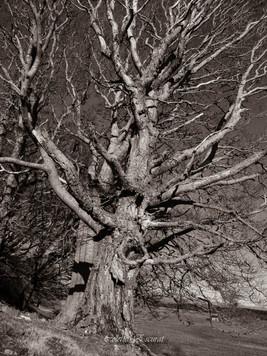 Le vieil arbre qui chantait
