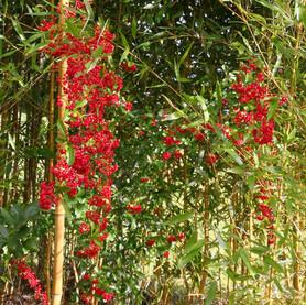 Denise Pyracantha dans la bambouseraie