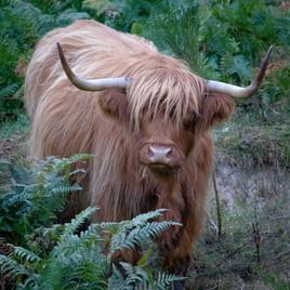 Vache Ecossaise en Corrèze