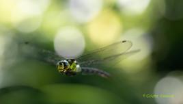 libellule en plein vol