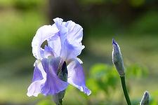 Iris transparence du matin.JPG