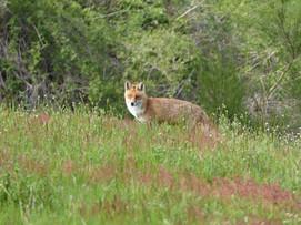 La renarde au doux regard