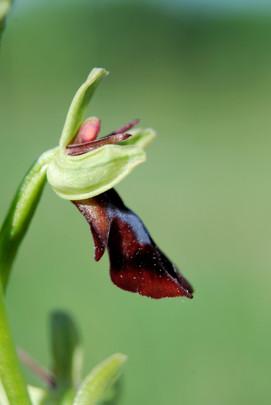 Orchidée Ophrys