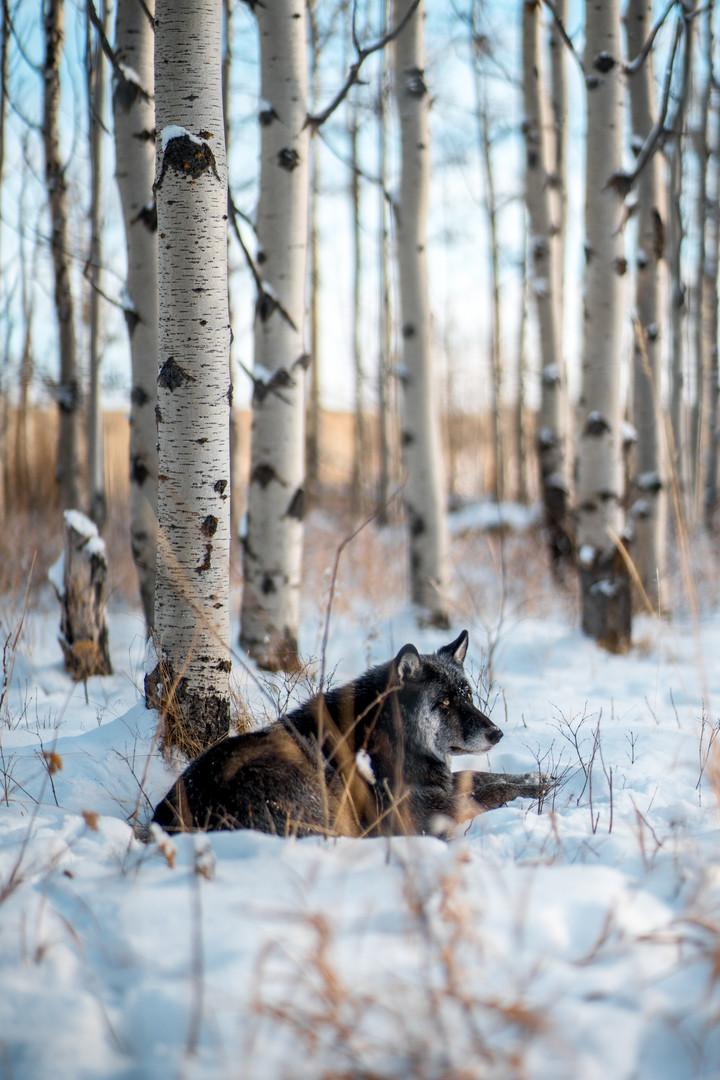 Wolfdog 3.jpg