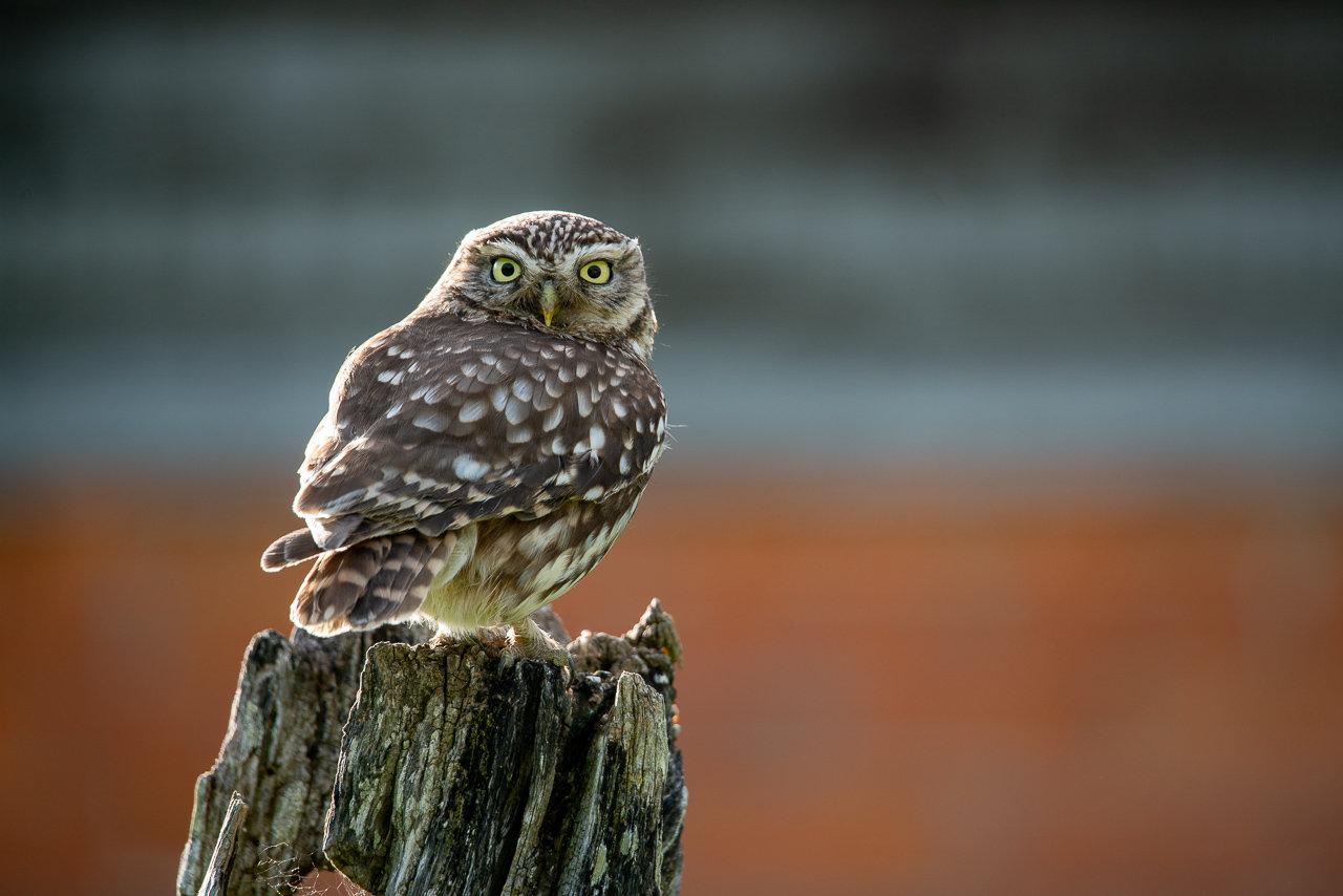 Little Owl Hide - Solo