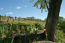 Norman Vineyards-2.jpg