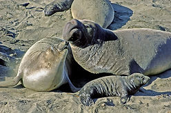 Elephant Seals Mom Dad and Pup.jpg