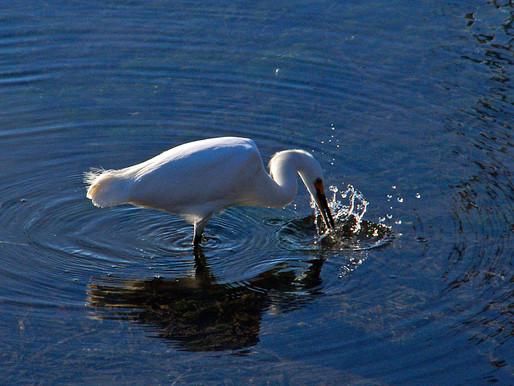 Foot Stomping Egret