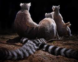 Lemur Tales