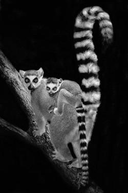 Lemur Tails