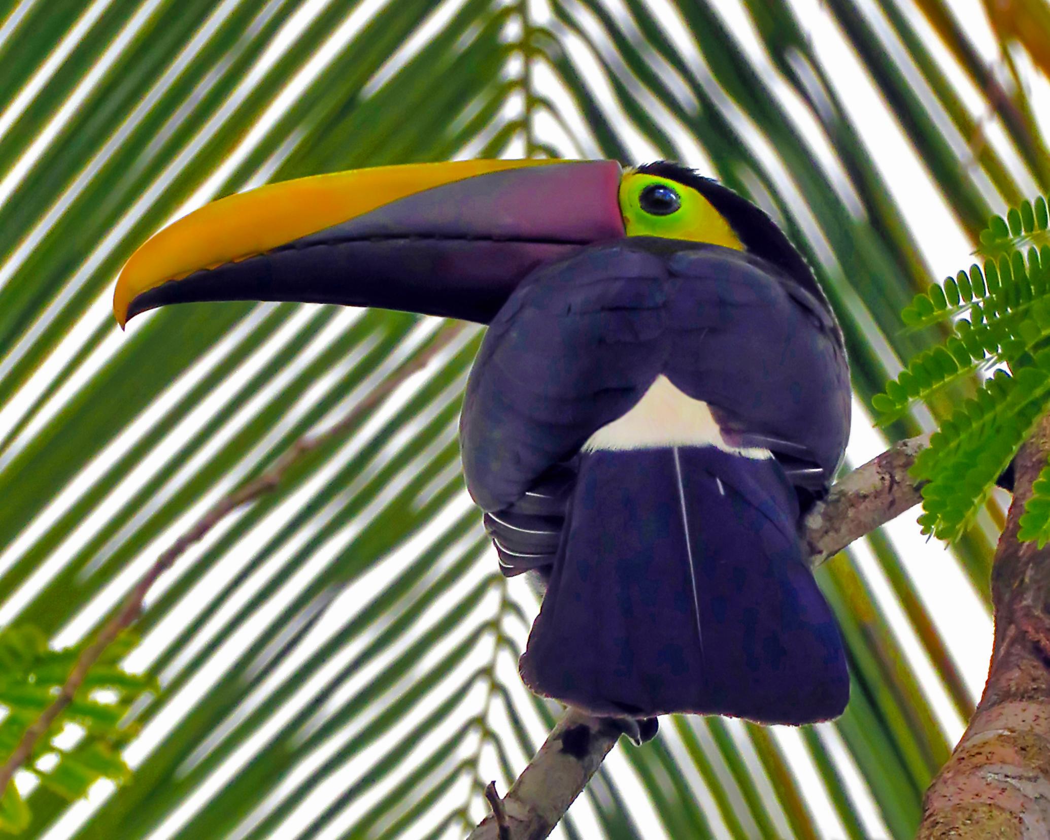 Black-mandibiled Toucan