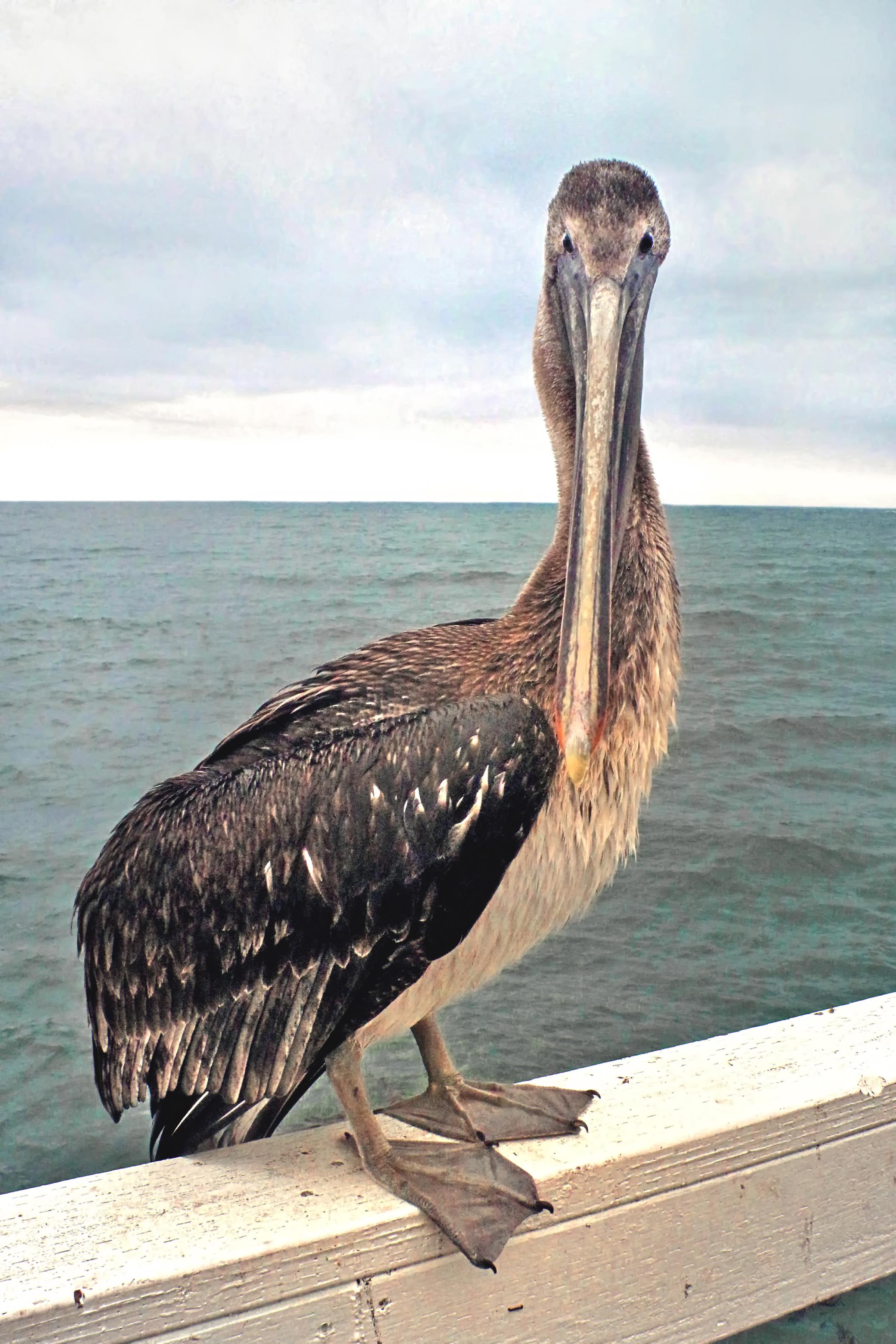 Larry, the Brown Pelican