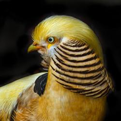 Golden Pheasant 1