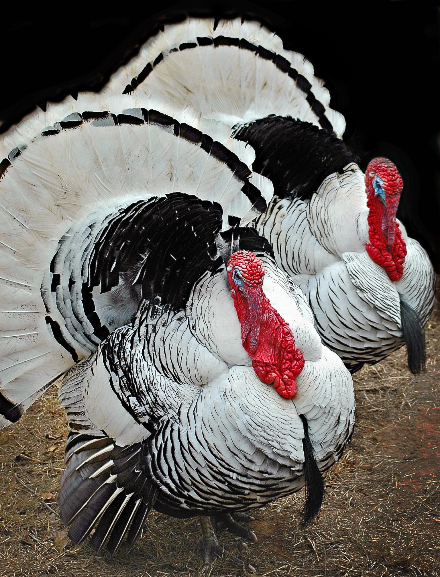 Twin Turkeys