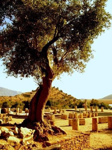 Olive trees and ruins
