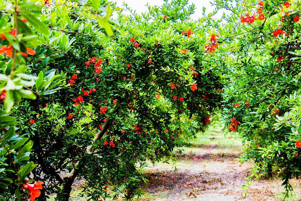 Pomegranate Tree Turkey