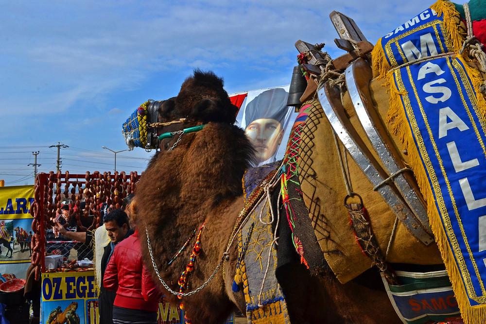 Camel Wrestling, Turkey
