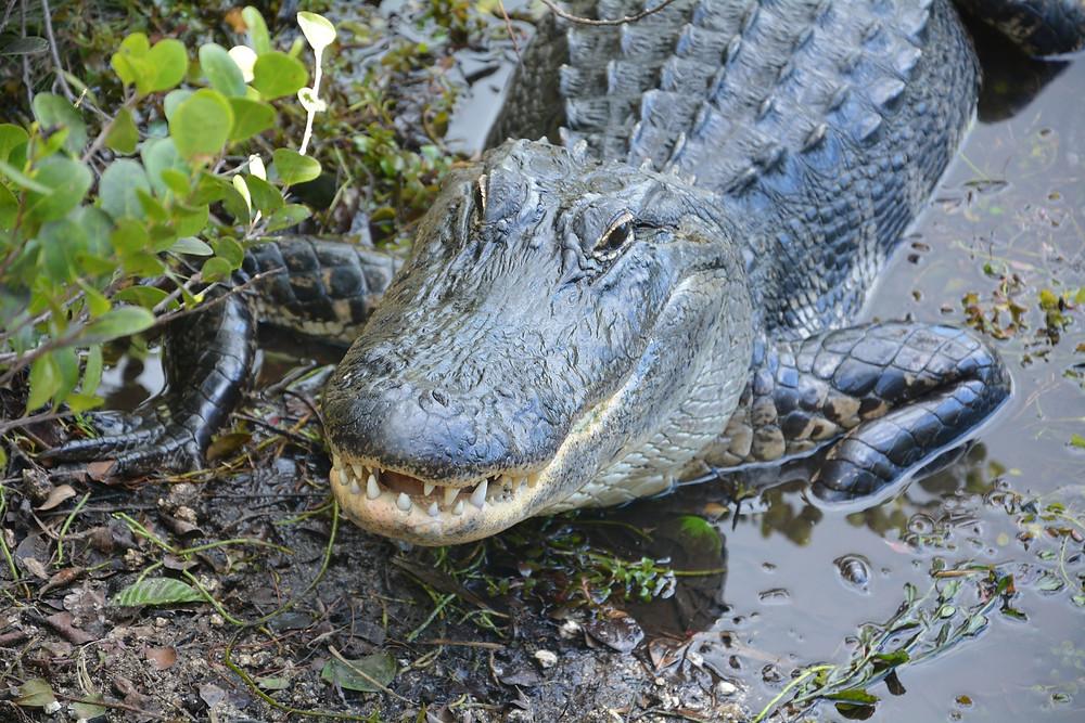 Alligator in the Everglades