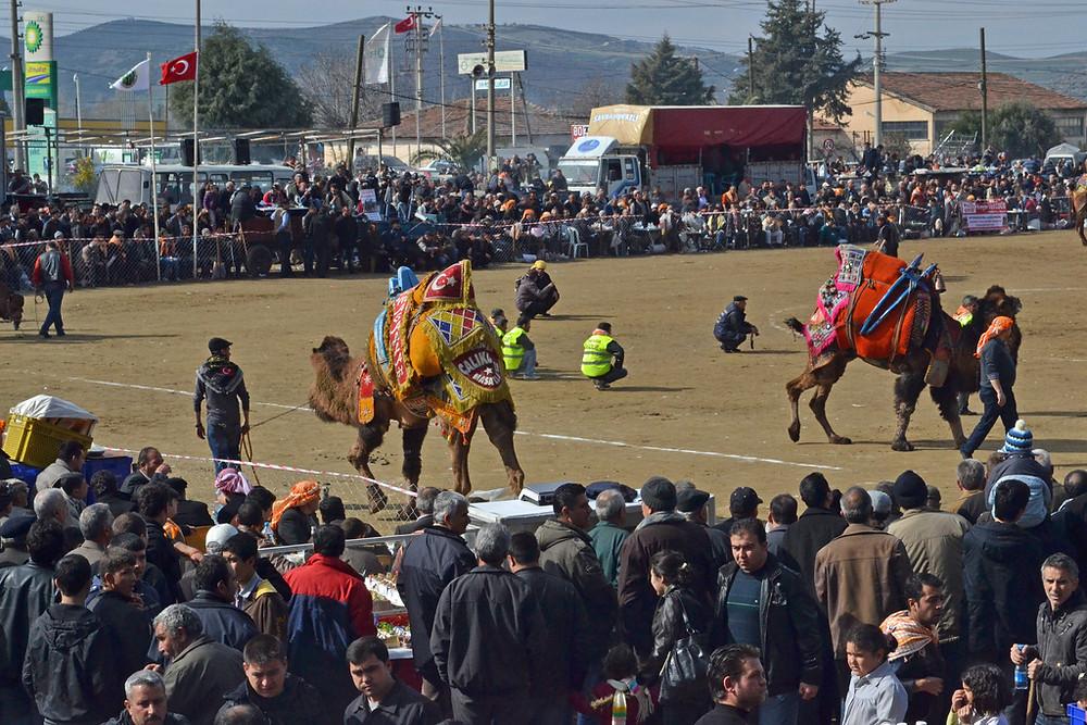 Camel Wrestling Festival, Turkey