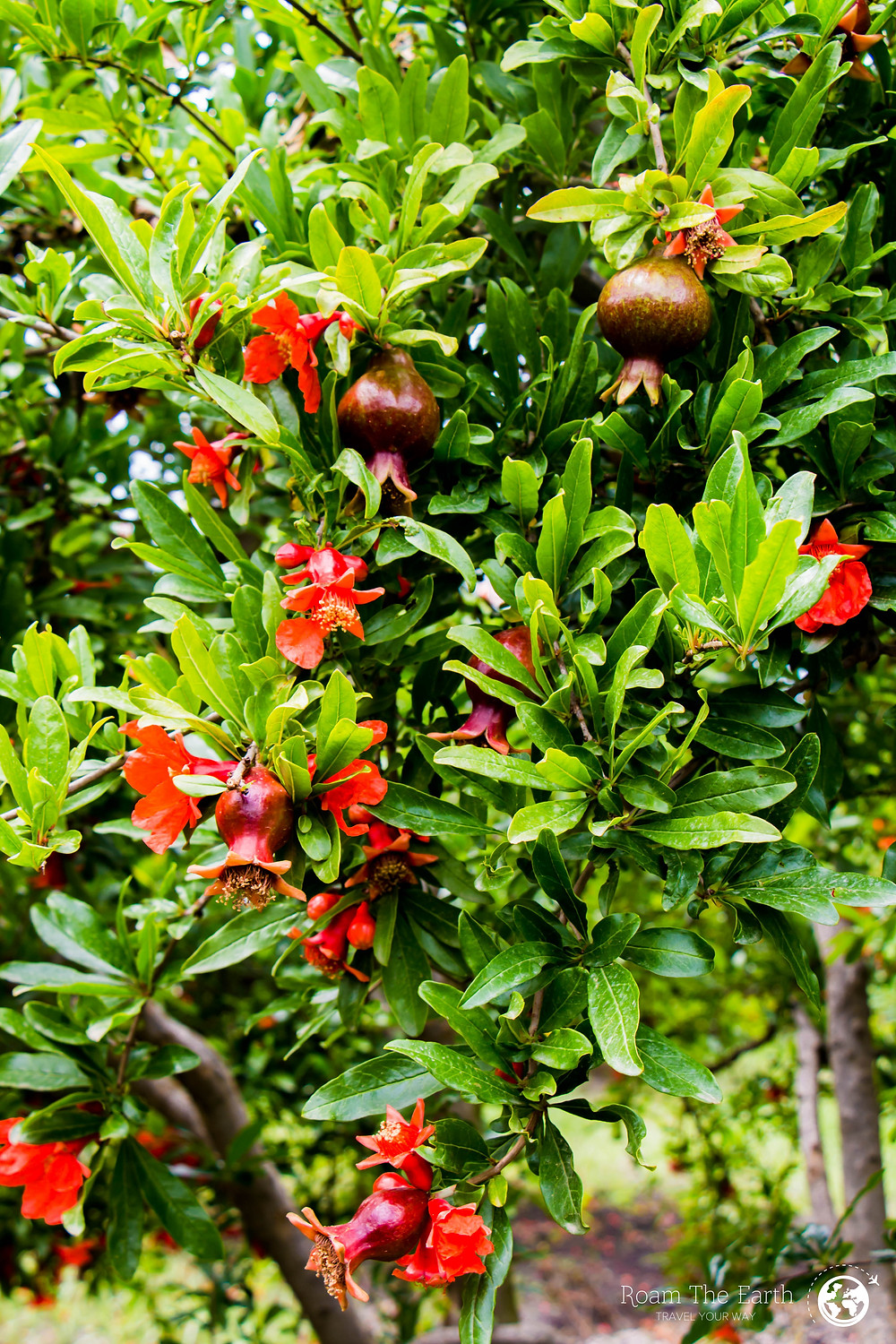 Turkey Pomegranate Trees