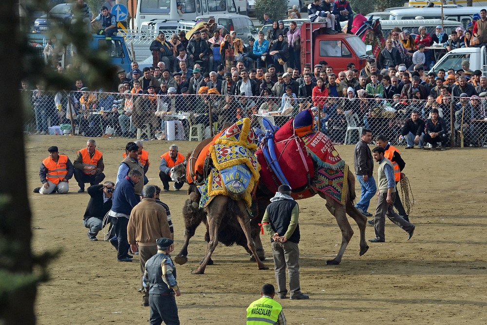 Camel Wrestling Match, Turkey