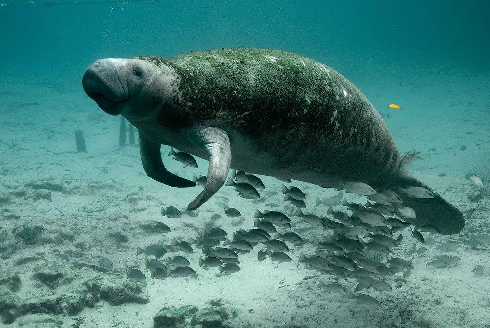 Manatees in Tampa