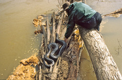 Pickard with anaconda on lower Heath