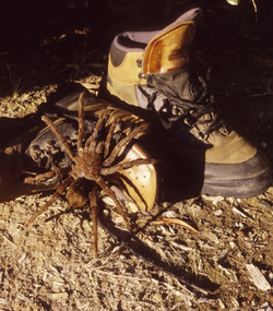 Tarantula on boot in camp