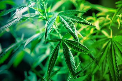 Cannabis-plant-333419.jpg