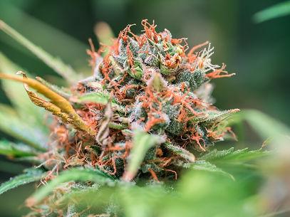 Flowering-cannabis-bud-785376.jpg