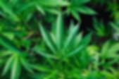 rick-proctor-cannabis.jpg