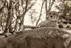 RWP Cheetah Y