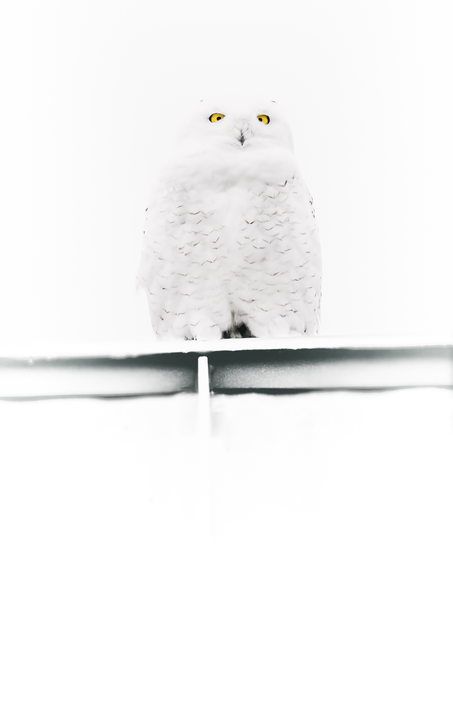 Snowy Owl E