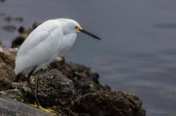 Lakeside Egret