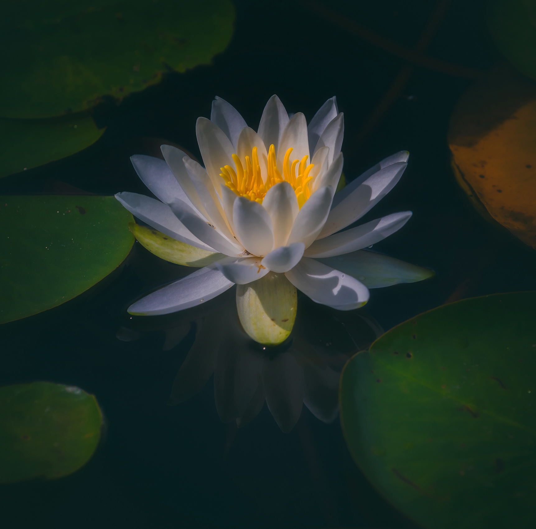 Lily Pad Flower A R