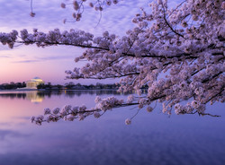 Cherry Blossoms and the TJM.jpg