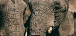 RWP Elephants A